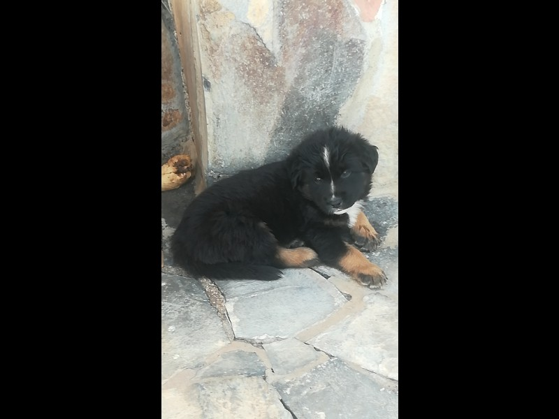 Cachorros pastor aleman -husky , vista 1