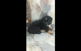 Cachorros pastor aleman -husky , para el exterior del hogar, referencia: 242-ho